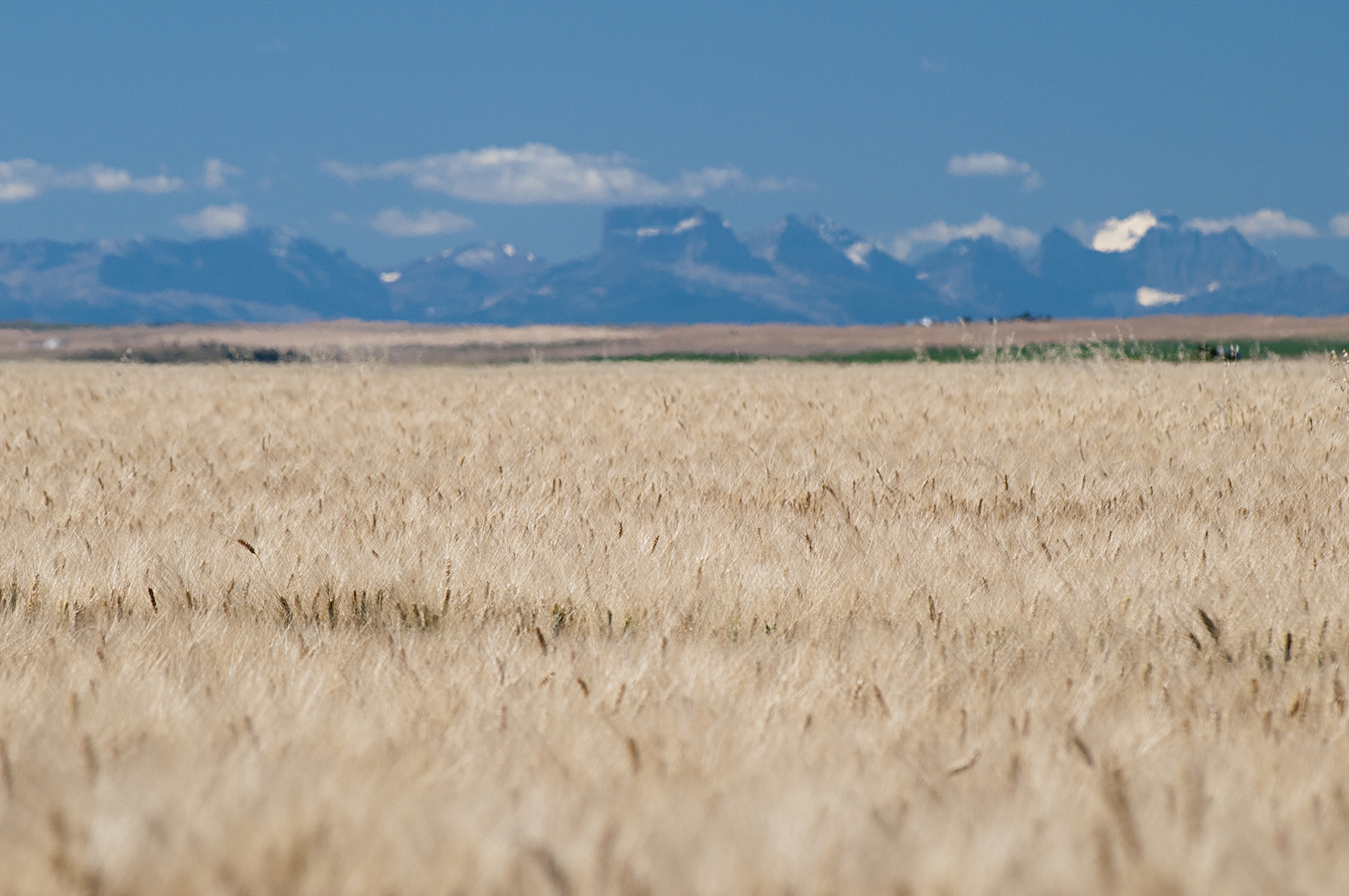 Wheat Field: Chief Mountain