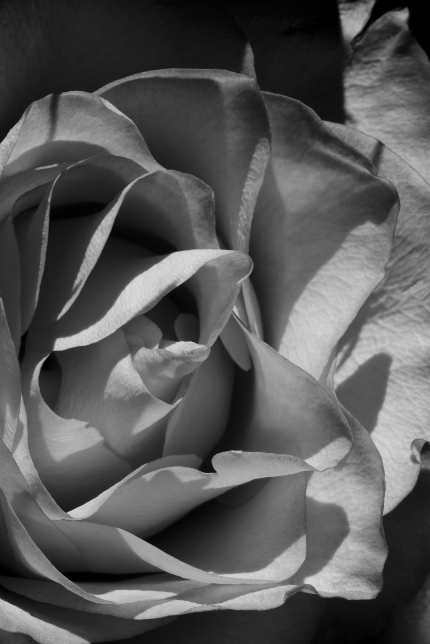 (untitled): B&W Rose