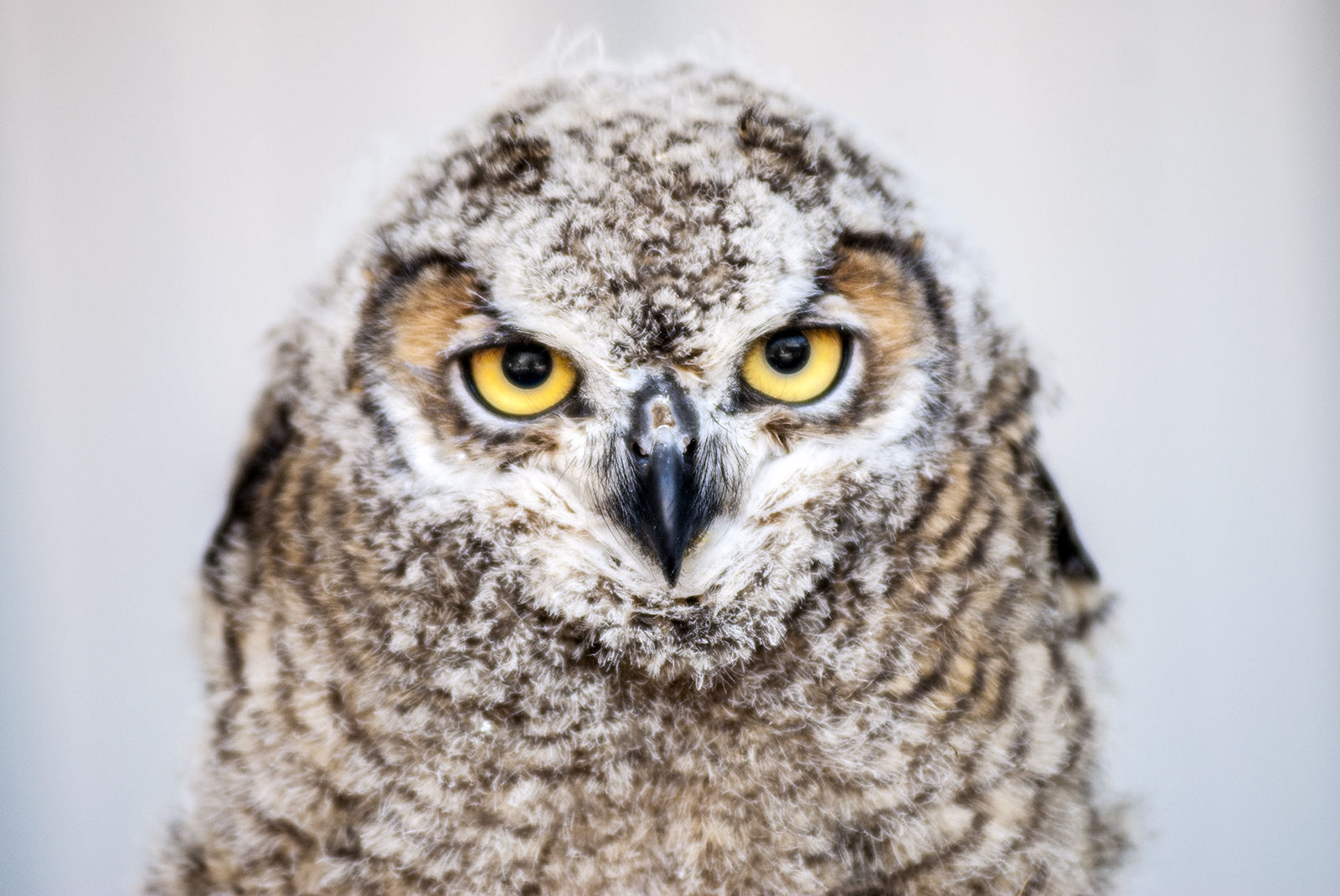 (untitled) Great horned owl