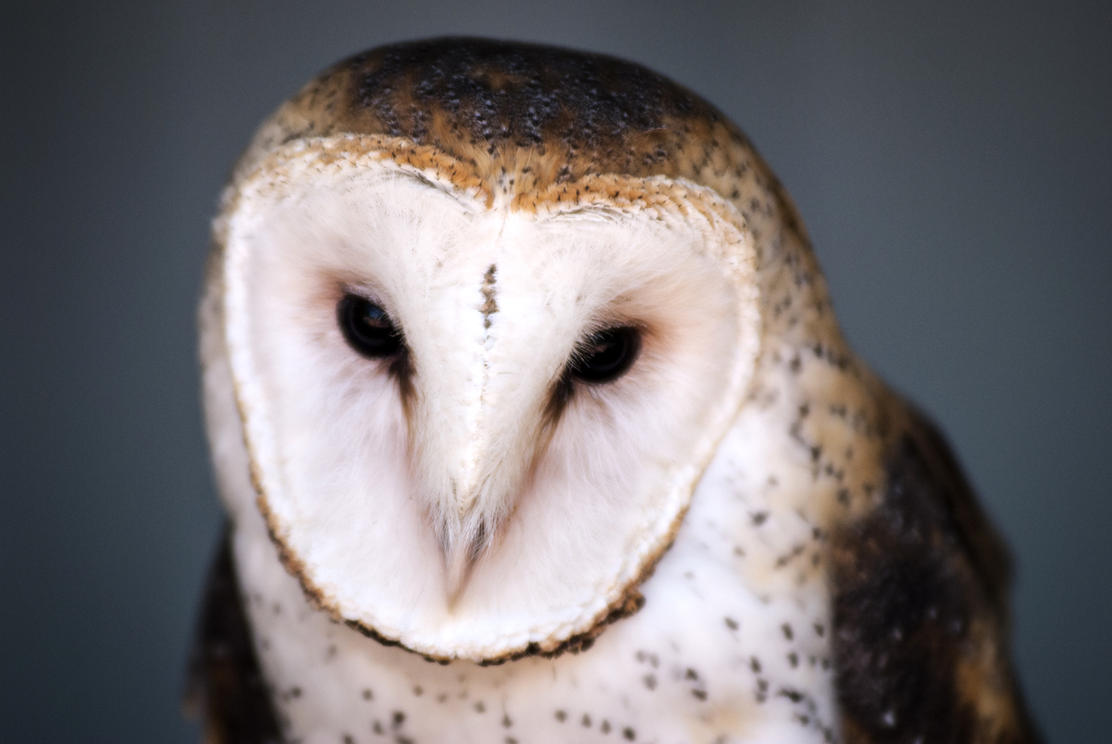 (untitled) Barn Owl